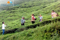 Guests at Temi Tea Garden near Chalamthang