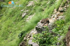 Mountain Goat (Bharal) at Tarey Bhir