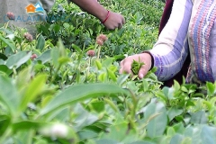 Tea Plucking. Courtesy: Wikipedia